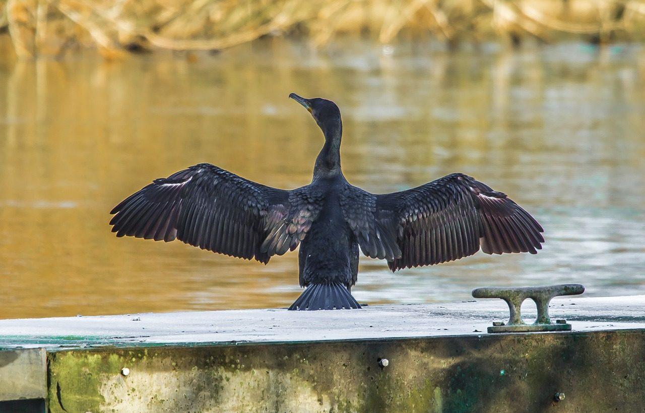 Il cormorano nero